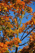 Fall yellow red maple forest with blue sky in Fulda, Hessen, Ger — Stock Photo