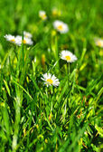 White and yellow daisies in the park in Fulda, Hessen, Germany — Stock Photo