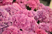 Pink hydrangea bodensee blossing in Keukenhof park in Holland — Stock Photo