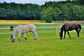 2 horses eating grass near Schloss Fasanarie in Fulda, Hessen, G — Stock Photo
