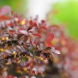 Colorful young leaves of a bush branch in Fulda, Hessen, Germany - Stock Photo