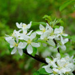 White flowers of an apple tree in Fulda, Hessen, Germany - Stock Photo