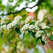 White flowers of branch of bird cherry tree in Fulda, Hessen, Ge - Stock Photo