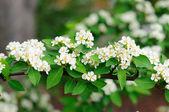 White flowers of branch of bird cherry tree in Fulda, Hessen, Ge — Stock Photo