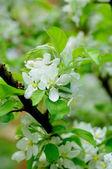 White flowers of an apple tree in Fulda, Hessen, Germany — Stock Photo