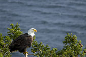 Perched Bald Eagle — Foto Stock