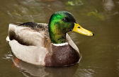 Mallard Duck in Pond — Stock Photo