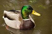 Mallard Duck in Pond — Stock Photo