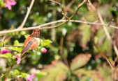 Hummingbird sitting on branch — Stock Photo