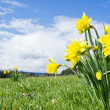 Yellow Daffodils in spring time — Stock Photo #10477950
