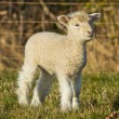 Stock Photo: Young white Lamb