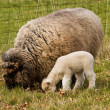 Stock Photo: Young Lamb with Ewe mother Sheep