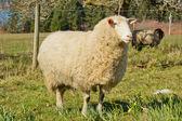 White mother lamb — Stock Photo