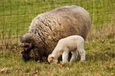 Young Lamb with Ewe mother Sheep — Stock Photo