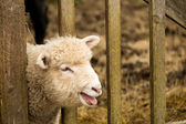 White Young Sheep Lamb — Stock Photo