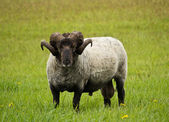 Black Ram in meadow — Stock Photo