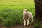 White Young Sheep Lamb — Stock Photo