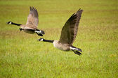 Two Canada Geese Flying — Stock Photo