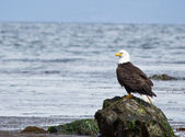 Bald Eagle perched on rock — Stock Photo