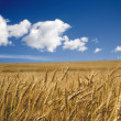 Grain in summer - acre — Stock Photo #10219536