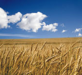 Grain in the summer - acre — Stock Photo
