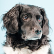 Stock Photo: Studio portrait of Stabyhoun or Frisian Pointing Dog.