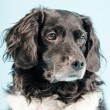 Studio portrait of Stabyhoun or Frisian Pointing Dog. — Stock Photo