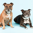 Royalty-Free Stock Photo: Two old staffordshire terrier dogs.