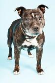 Czarne stare staffordshire terrier pies. — Zdjęcie stockowe