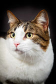 White brown cat isolated on black background. — Stock Photo