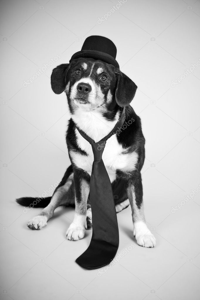 Entlebucher Mountain Dog wearing hat and tie. Black and white photo. — Stock Photo #10351780