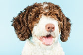White brown spanish waterdog. — Stock Photo