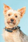 Chien yorkshire terrier. — Photo