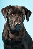 Black labrador retriever. — Stock Photo