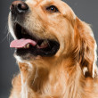 Golden retriever dog. - Stock Photo