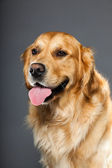 Golden retriever dog. — Stock Photo
