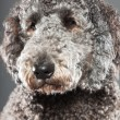 Labradoodle dog. — Stock Photo #10443850