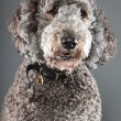 Labradoodle dog. — Stock Photo #10444015