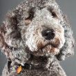 Labradoodle dog. — Stock Photo