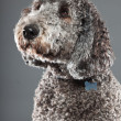 Labradoodle dog. — Stock Photo #10444301