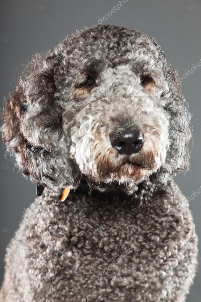 Displaying 19 gallery images for grey labradoodle