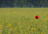 Single poppy in a field — Stock Photo