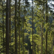 Stock Photo: Forest in Pirin mountain National Park
