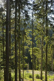 Forest in Pirin mountain National Park — Stock Photo