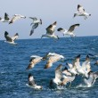 Seagulls feeding behind the fishing boat — Stock Photo