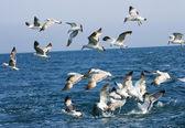 Seagulls feeding behind the fishing boat — Stock Photo