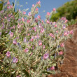 Stock Photo: Echium angustifolium