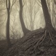 Trees with visible roots in a misty forest — Stock Photo