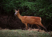 Ormandaki geyik — Stok fotoğraf