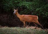 Um veado na floresta — Foto Stock